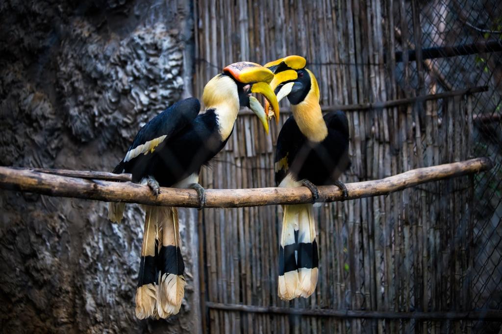 greathornbill